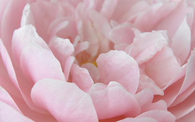 free flower desktop wallpaper pink preview