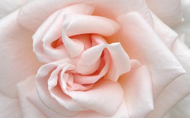 free flower desktop wallpaper peach preview